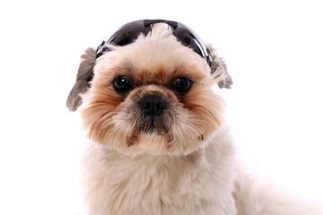 junger Hund Shih Tzu mit Sonnenbrille auf dem Kopf