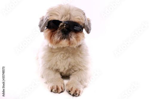 Foto op Aluminium Dragen junger Hund Shih Tzu trägt Sonnenbrille schräg