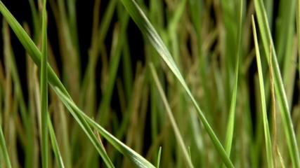 Green grass, passes, isolated on black background.