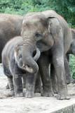 1202063 - Indische Elefanten
