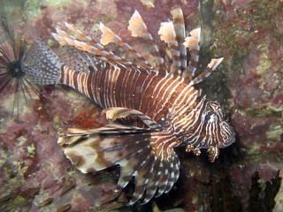 Lionfish - Pterois volitans