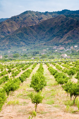 tangerine trees orchard, Sicily