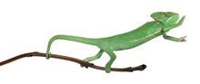 Młoda zawoalowany kameleon, Chamaeleo calyptratus