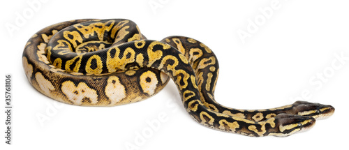 Male and female Pastel calico Royal Python, ball python