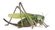 Female wart-biter, a bush-cricket, Decticus verrucivorus