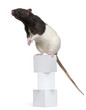 Fancy Rat, 1 year old, standing on boxes