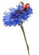 Seven-spot ladybird or seven-spot ladybug on Cornflower