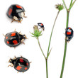 Asian lady beetles, or Japanese ladybug