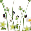 Asian lady beetles, or Japanese ladybug-
