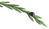 Asian lady beetle, or Japanese ladybug or the Harlequin ladybird poster