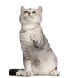 British Shorthair kitten, 4 months old, sitting