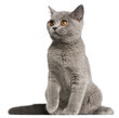 British Shorthair kitten, 3 months old, sitting