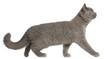 British Shorthair kitten, 3 months old, walking