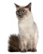 Ragdoll cat, 15 months old, sitting