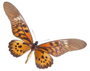 Papilio (Druryia) antimachus