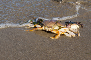 Dungeness crab in the surf on an ocean beach