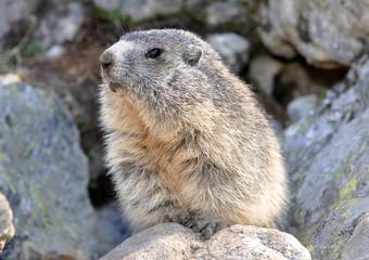 marmotte regard gauche