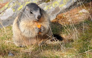 marmotte mangeant