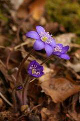 Violet forest flowers closeup
