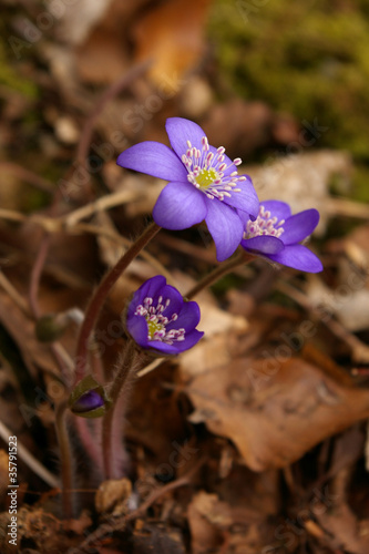 Violet forest flowers closeup