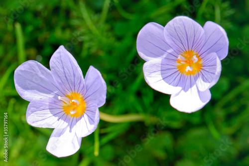 Foto op Aluminium Krokussen Zwei Blüten des Pracht-Herbst-Krokus