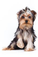 Yorkshire terrier puppy on white