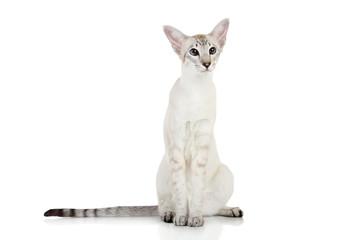 Oriental Blue point siamese cat