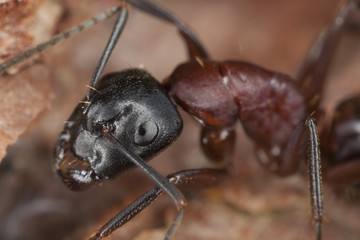 Macro photo of a Carpenter ant