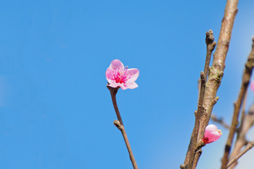 thai Sakura flower