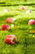 Fallen apples.
