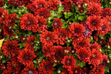 wet red chrysanthemums