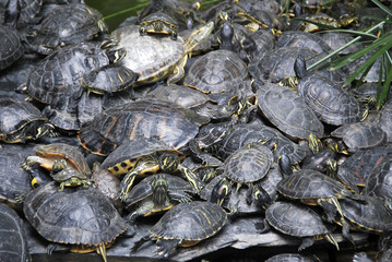 Pond turtles stacked