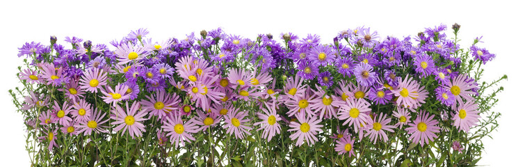 Border from  pink and violet chrysanthemums