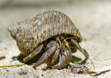 Hermit crab on the sand poster