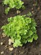 Feuille de chêne verte bio en terre