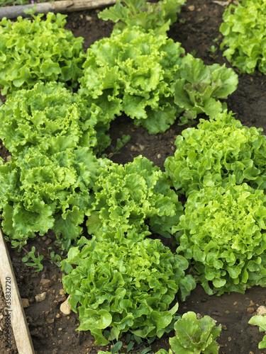 Salades biologiques