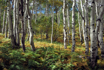 Autumn Aspen Groves in the Uintah National Forest, Utah
