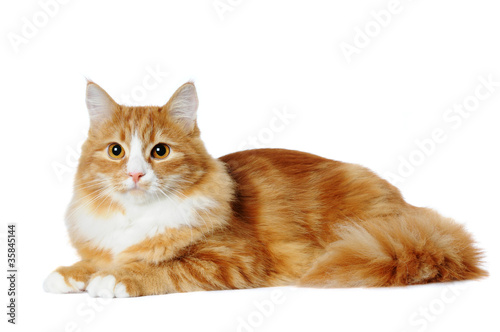 Red marble mixed-breed cat lying isolated on white