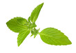 green isolated spearmint branch