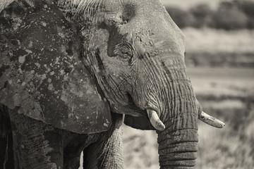 Ritratto Elefante in bianco e nero
