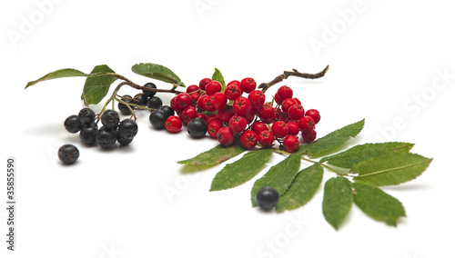 Ashberry and black chokeberry