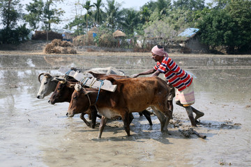 GOSABA,INDIA-JAN 19,2009 :Farmers plowing agricultural field