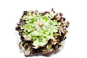 frisch geschnittener rucola salatkopf saftig