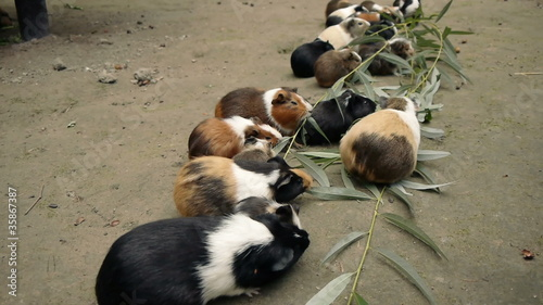 Guinea Pigs Eating Eucalyptus Leafs