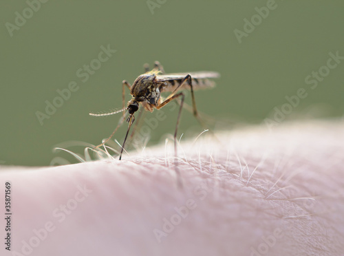 Mosquito (Culex pipiens) sucking blood on human skin