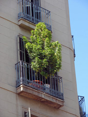 marihuana bush on a balcony in barcelona, spain, catalonia