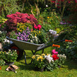 Wheelbarrow and trays with new plants - 35876959