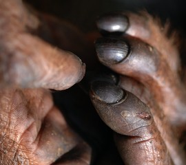 Fingers of orangutan