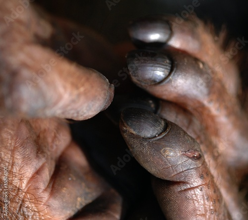 Fingers of orangutan