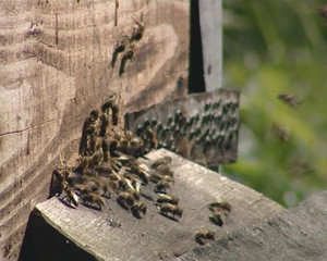 Beehive hole and bees flying inside and outside. Beekeeping.